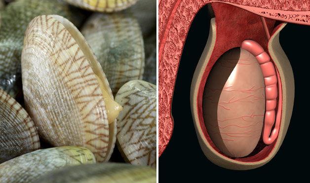мидии - яички